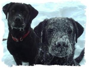 Frozen Labrador muzzles