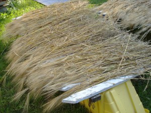 Barley straw drying in the sun.