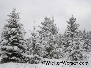 Spruce trees with snow