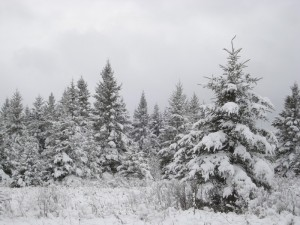 snow on spruce trees