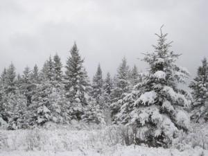 snow on spruce trees