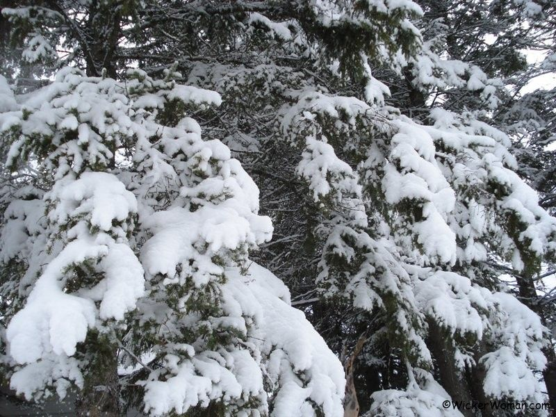 snowfall on the spruce trees