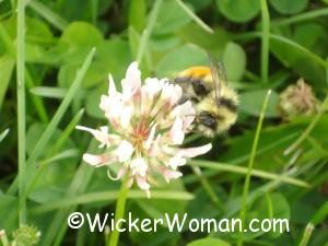 bee clover pollen