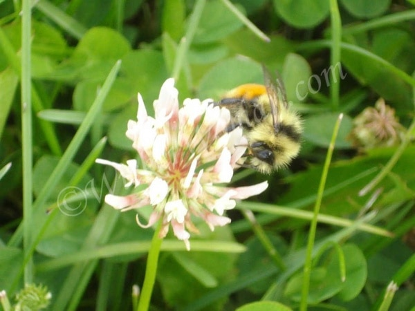 bee gathering pollen on clover