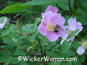 bee wild rose