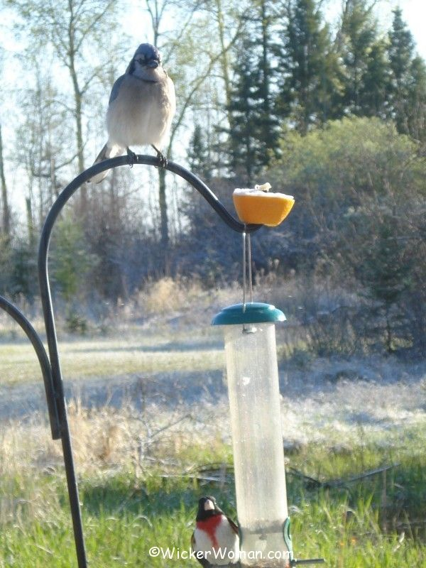 grosbeak bluejay feeders