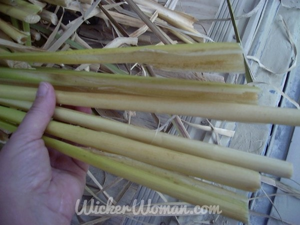 Separating individual cattail leaves from the stalk butt.