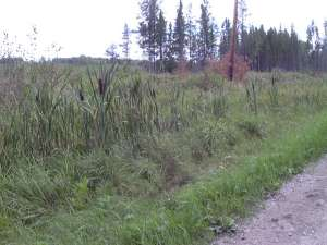 Road ditch cattails.