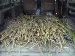Cut cattail leaves in van ready to take home and dry.