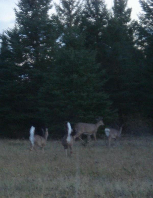 deer triplets and mom 10-24-15