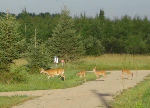 deer doe with triplets