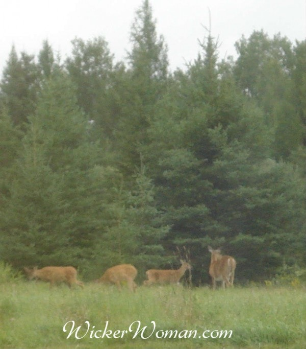 doe and spotted triplet fawns 8-24-15