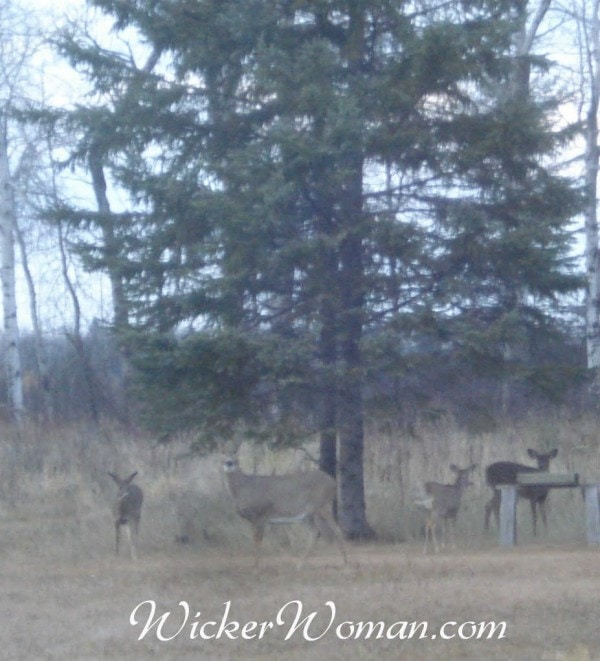 doe with deer triplets 10-30-15