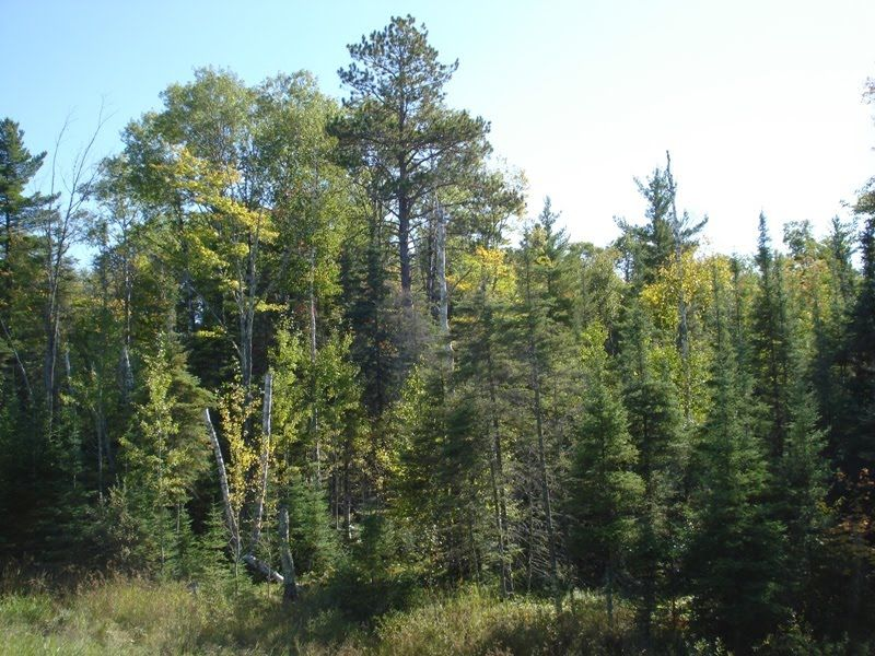 """T"" is for Tuesday–The Tamarack Tree"