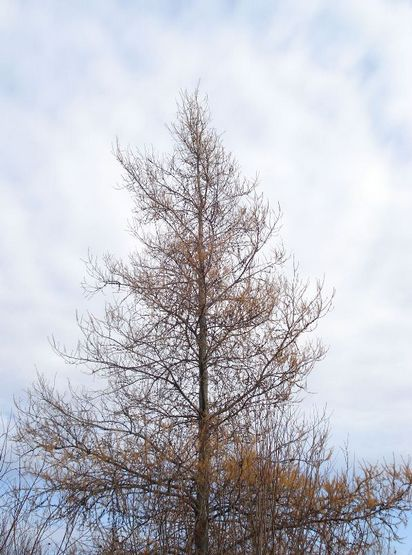 Quot T Quot Is For Tuesday The Tamarack Tree The Wicker Woman