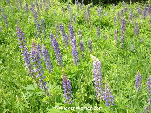 Purple lupine flowers in road ditch