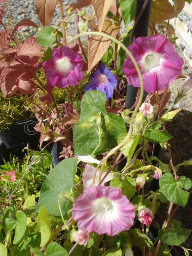 Sunny Morning Glories Blooming in the Fall
