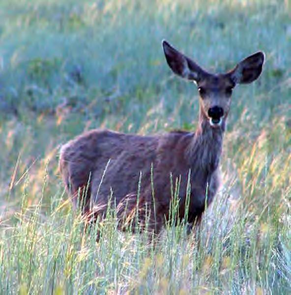 Mother of the Year–Mule Deer Does!