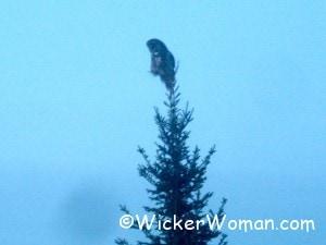 owl mn tree 3-1-13