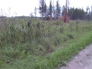 Gathering Cattails for Hand-twisted Rush Class