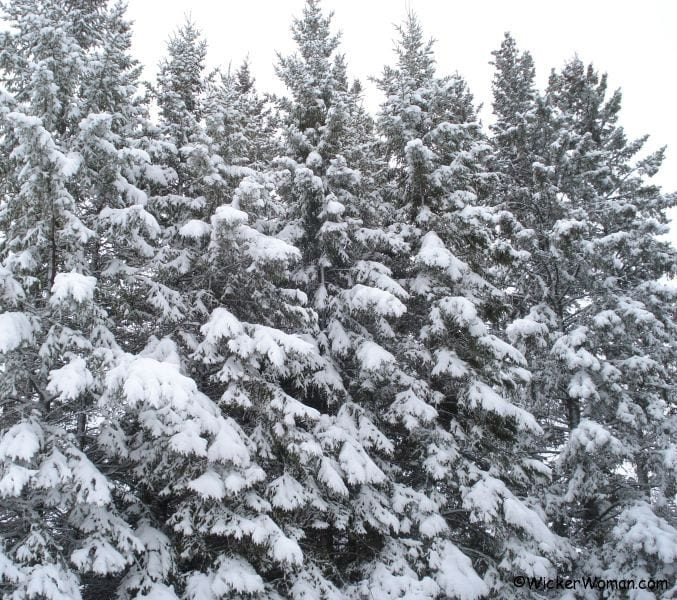snow on the tall spruce trees