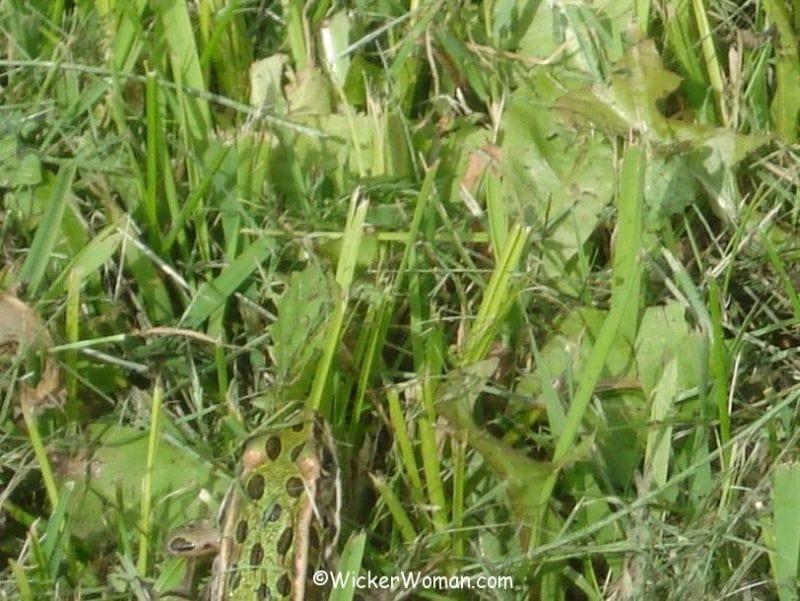 spot frog grass
