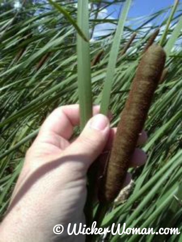 Typha angustifolia (narrow leaf cattail)