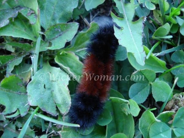 fall woolly bear caterpillar